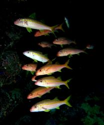 Small school of goatfish taken in a cave at Shark Observa... by Nikki Van Veelen 